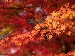 清東園は紅葉もお楽しみいただけます